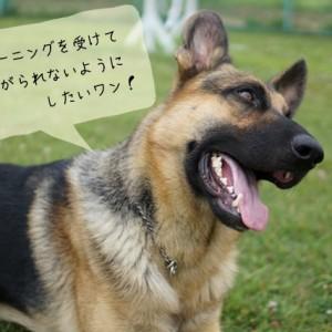 ドッグトレーナーが扱う大型犬の種類