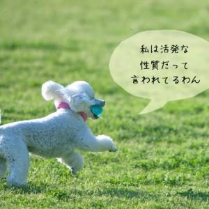 ドッグトレーナーが扱う小型犬の種類
