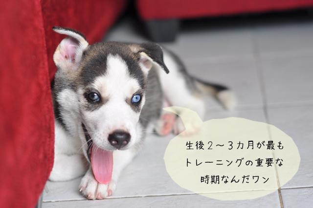 仔犬をしつけて社会に慣れさせる社会化トレーニング
